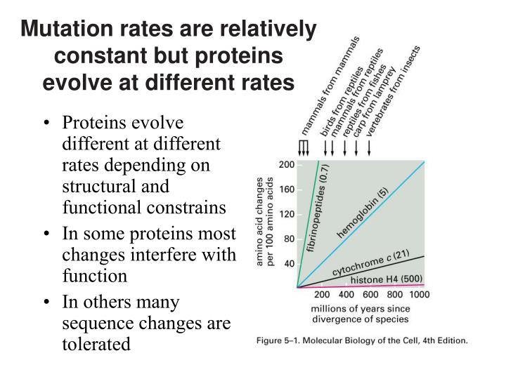 Mutation rates are relatively constant but proteins evolve at different rates l.jpg