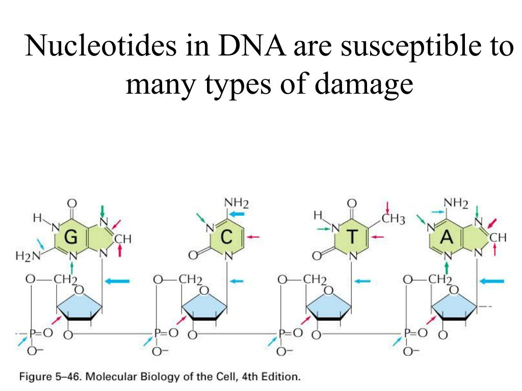 Nucleotides in DNA are susceptible to many types of damage