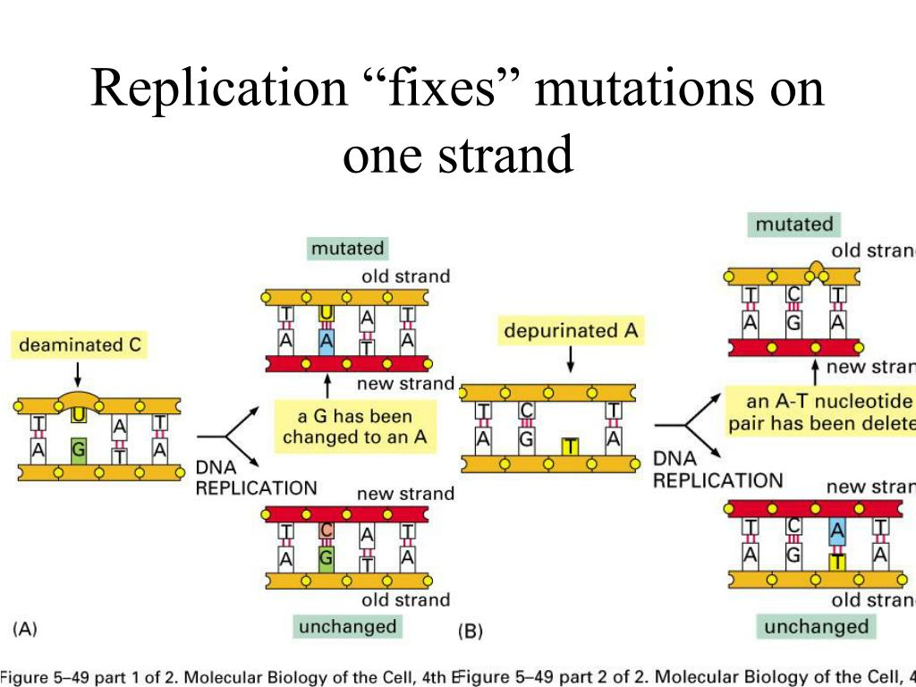 "Replication ""fixes"" mutations on one strand"
