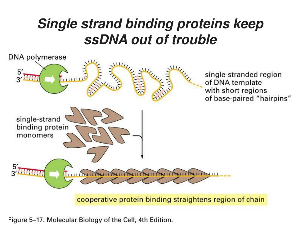 Single strand binding proteins keep ssDNA out of trouble