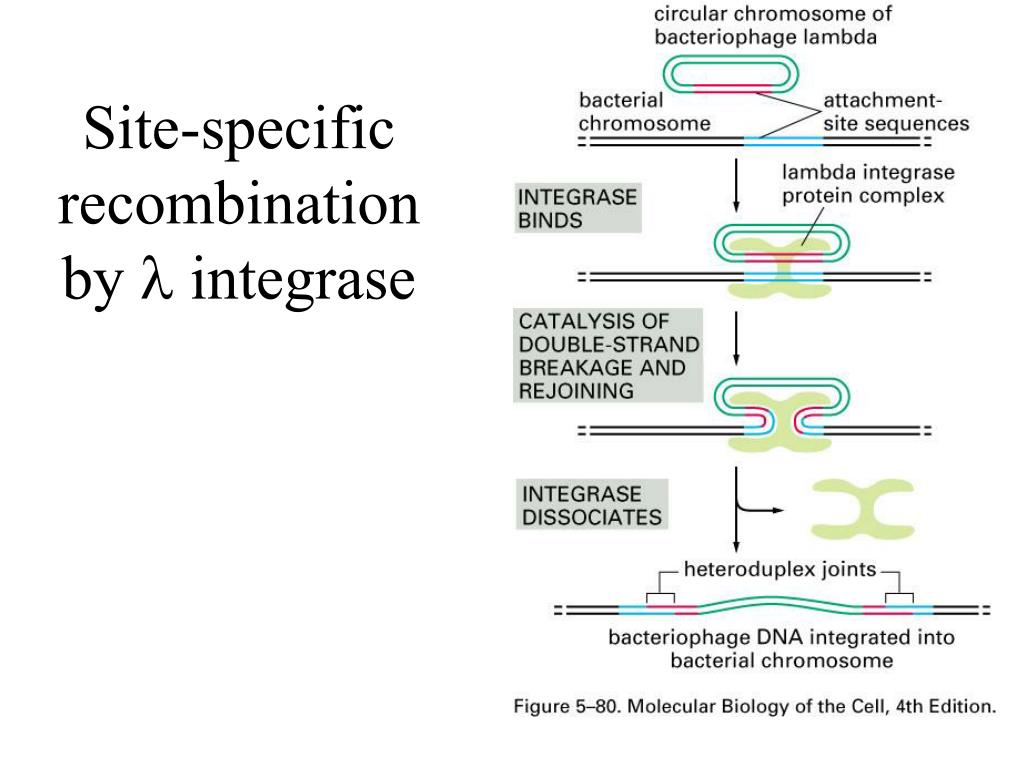 Site-specific recombination by