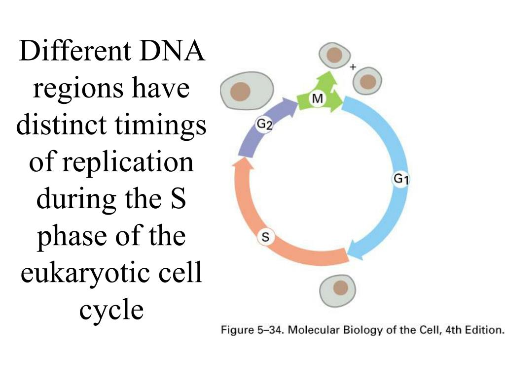 Different DNA regions have distinct timings of replication during the S phase of the eukaryotic cell cycle