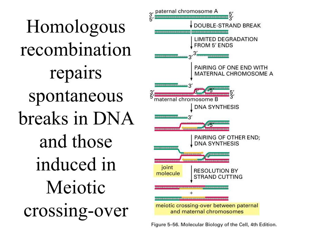 Homologous recombination repairs spontaneous breaks in DNA and those induced in Meiotic crossing-over
