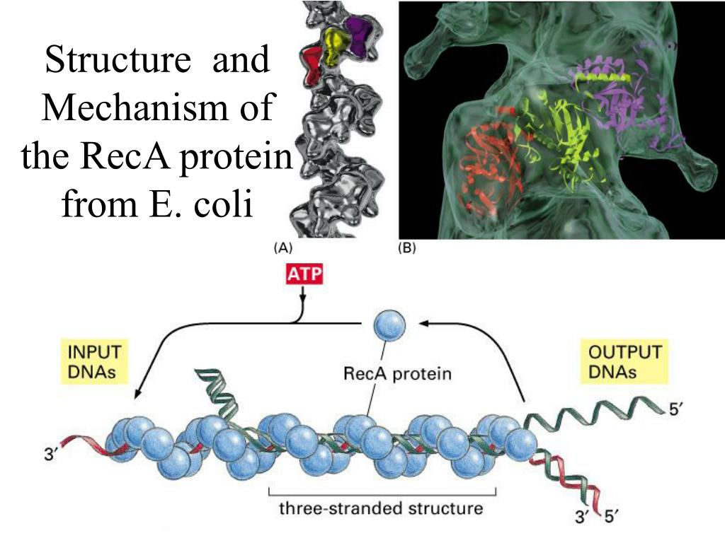 Structure  and Mechanism of the RecA protein from E. coli