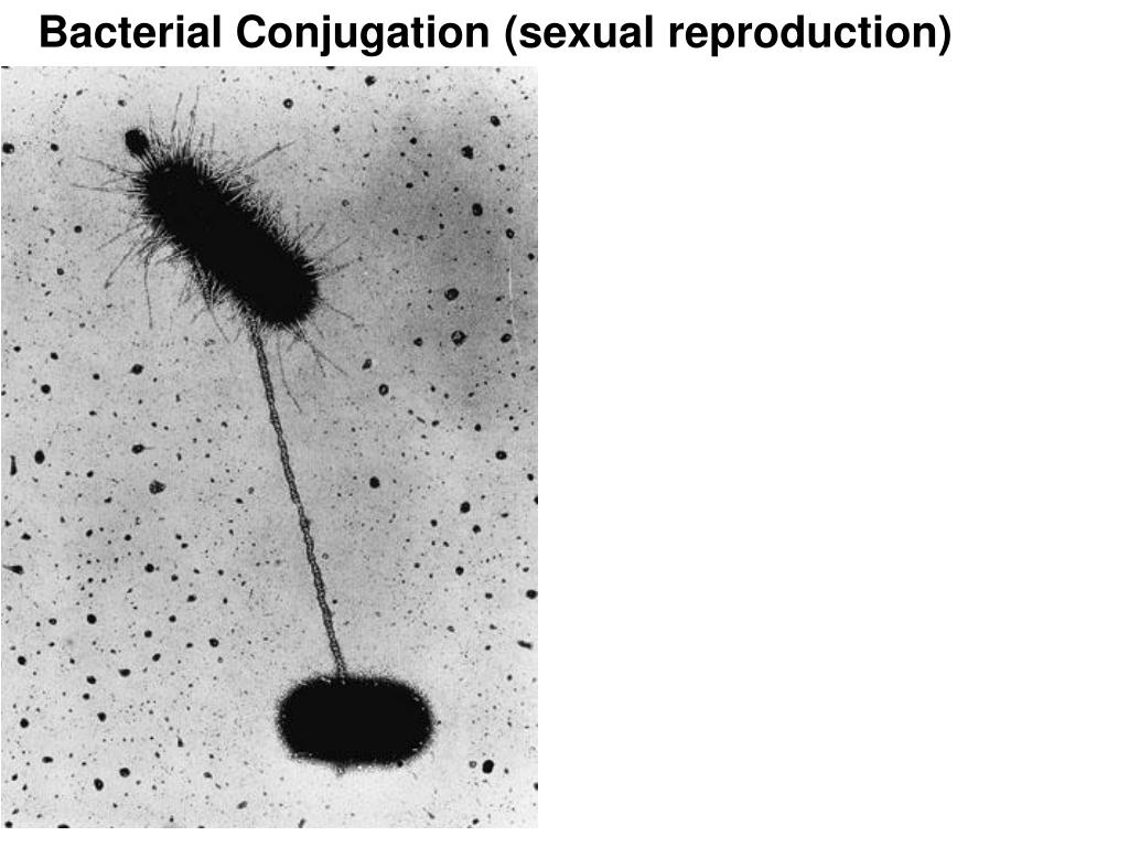 Bacterial Conjugation (sexual reproduction)