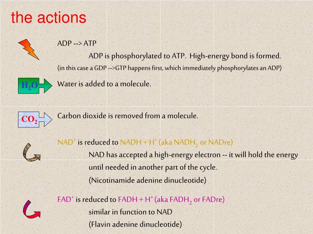ADP --> ATP