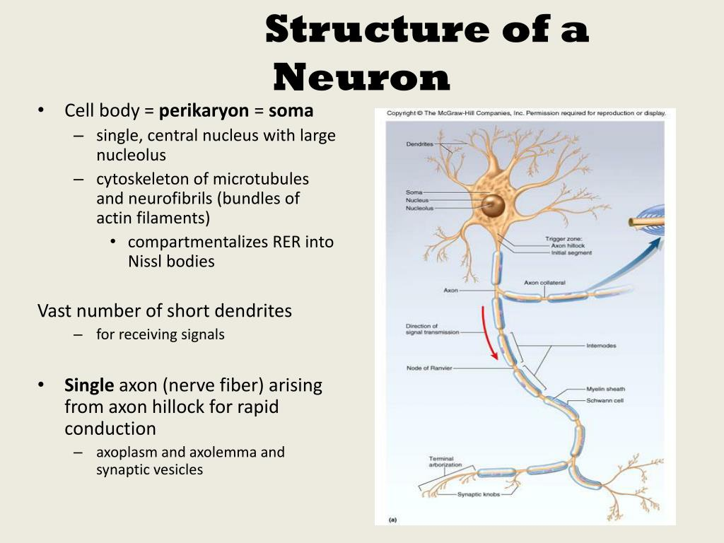 ppt subdivisions of nervous system powerpoint. Black Bedroom Furniture Sets. Home Design Ideas