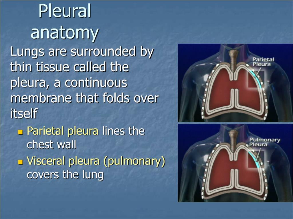 Pleural anatomy