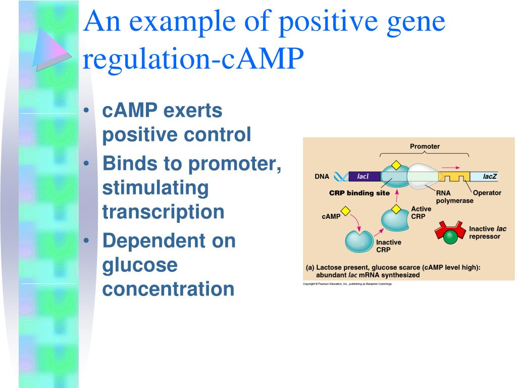An example of positive gene regulation-cAMP