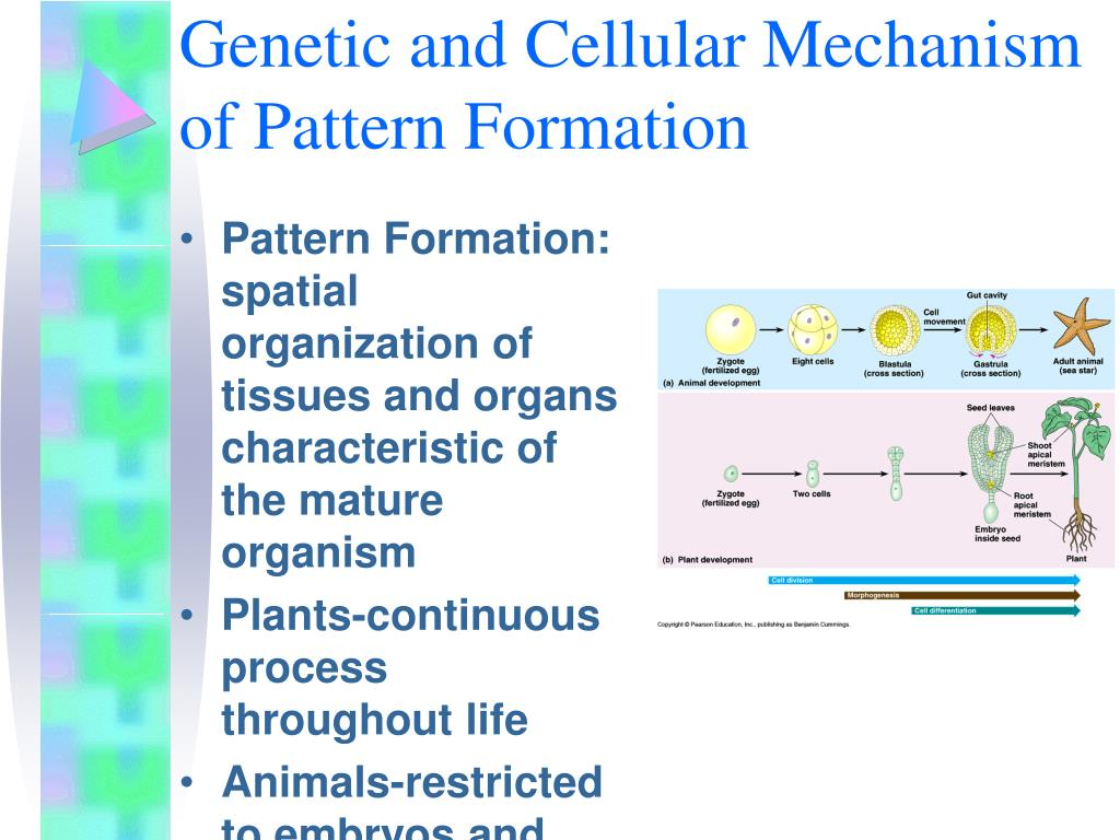 Genetic and Cellular Mechanism of Pattern Formation
