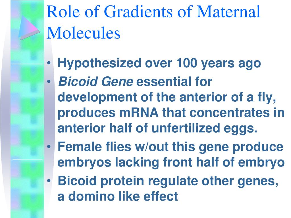 Role of Gradients of Maternal Molecules