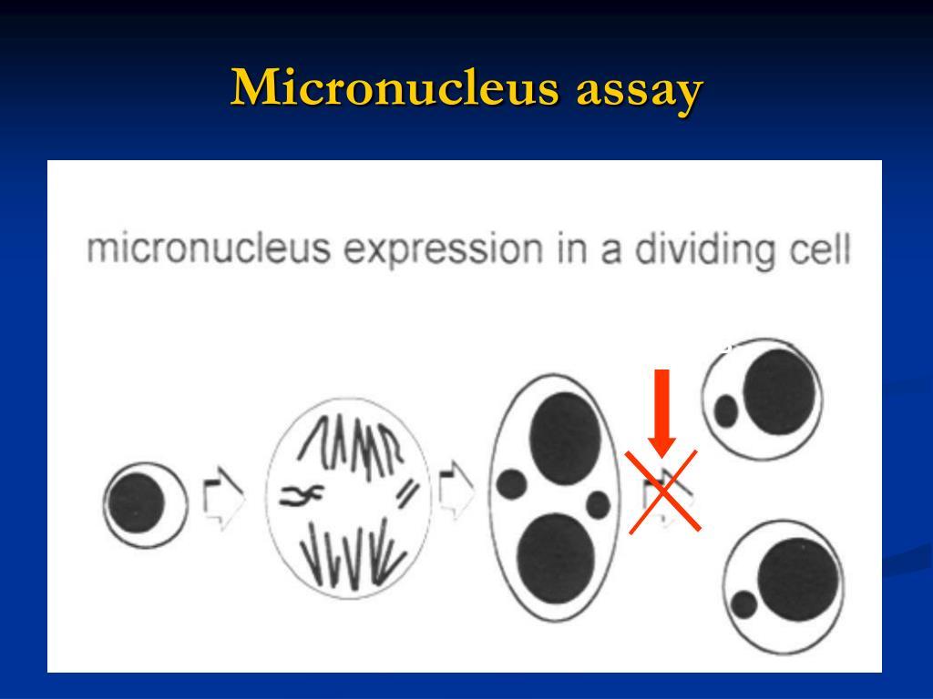 Micronucleus