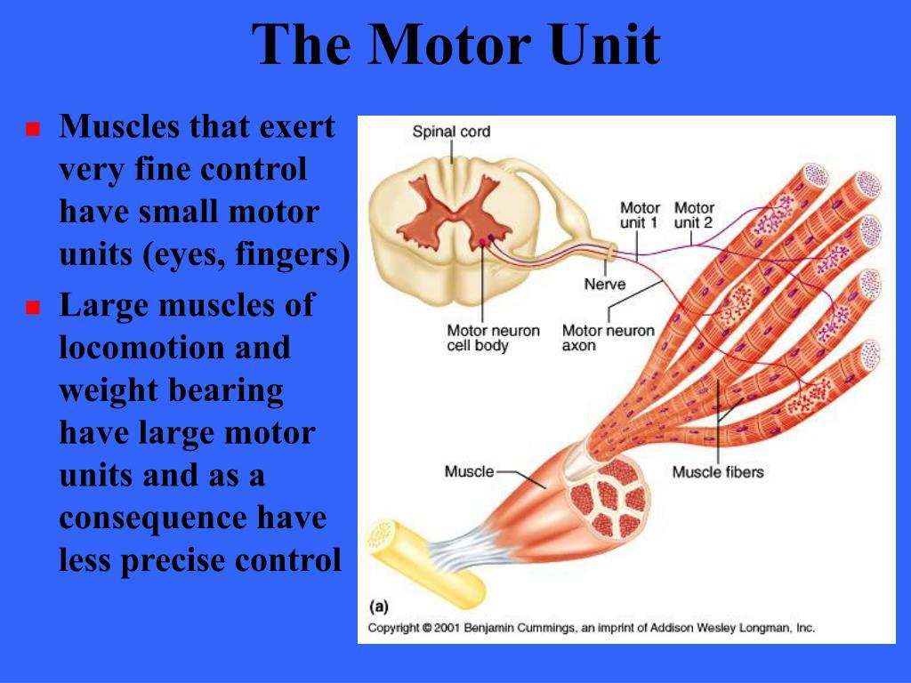 The Motor Unit