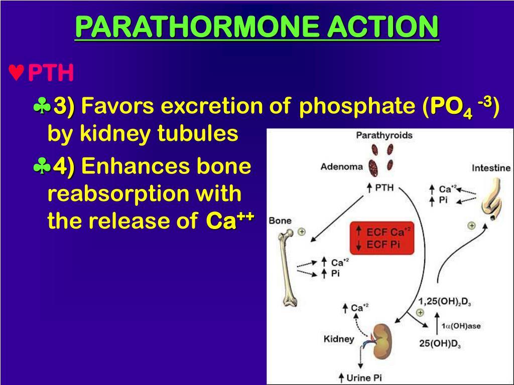 PARATHORMONE ACTION