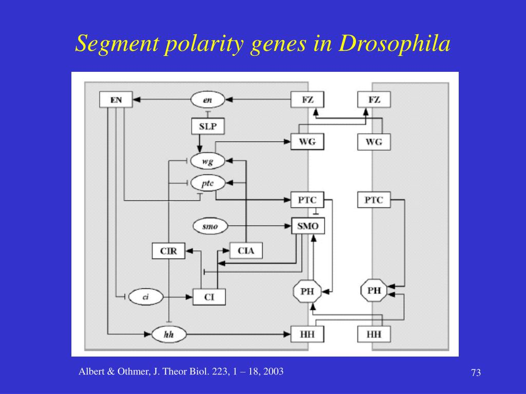 Segment polarity genes in Drosophila