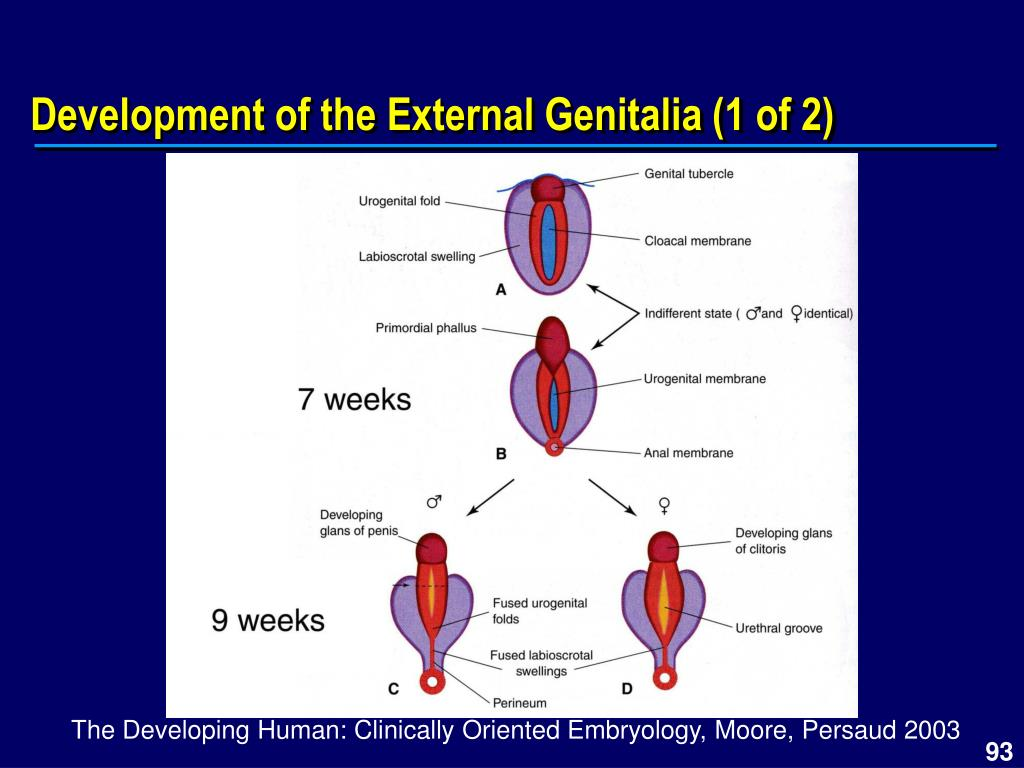 Development of the External Genitalia (1 of 2)