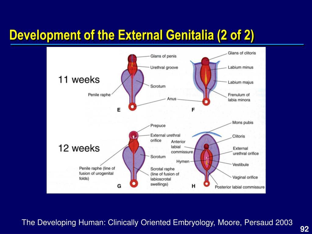 Development of the External Genitalia (2 of 2)