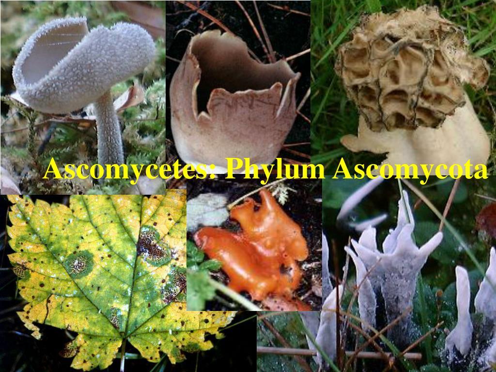Sexual spores in fungi