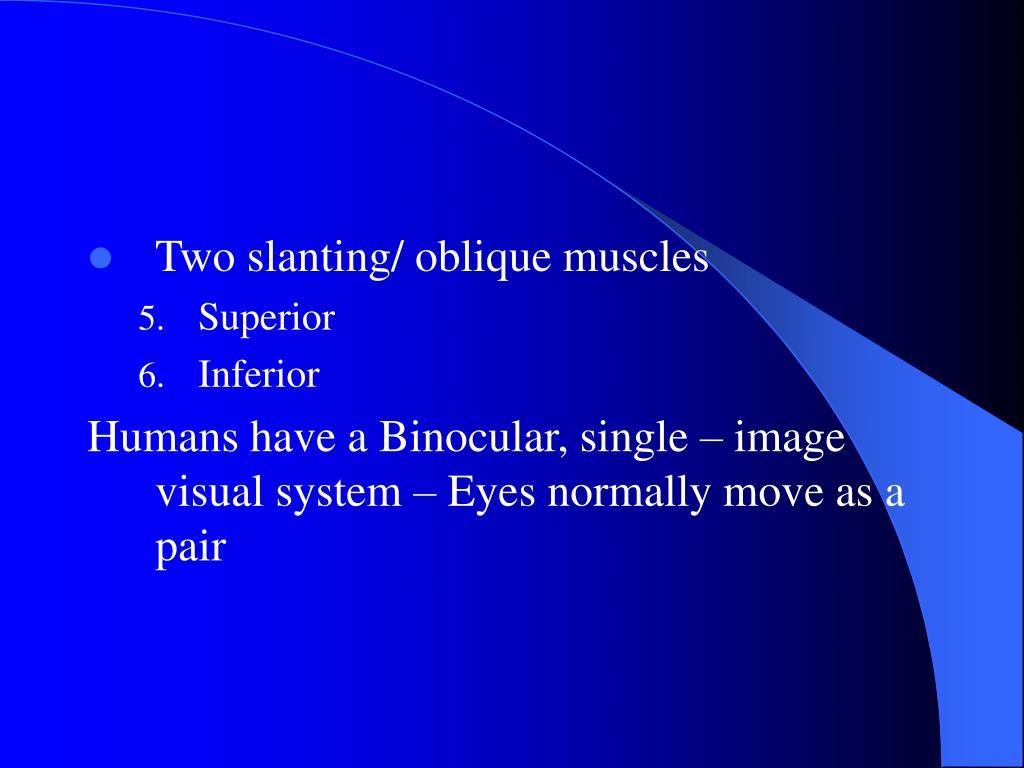 Two slanting/ oblique muscles