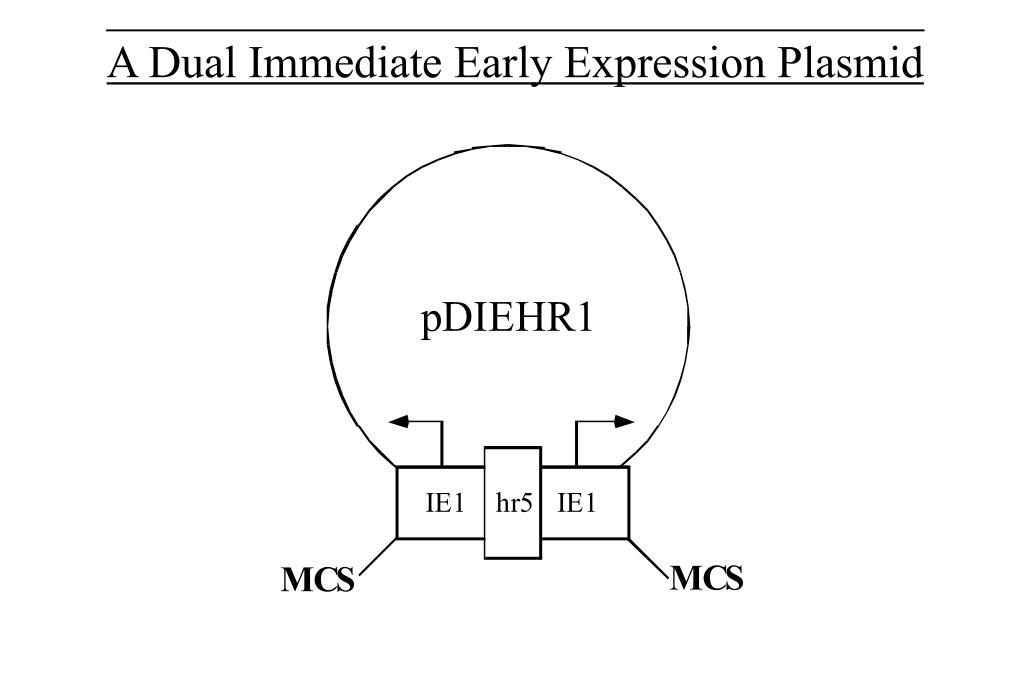 A Dual Immediate Early Expression Plasmid
