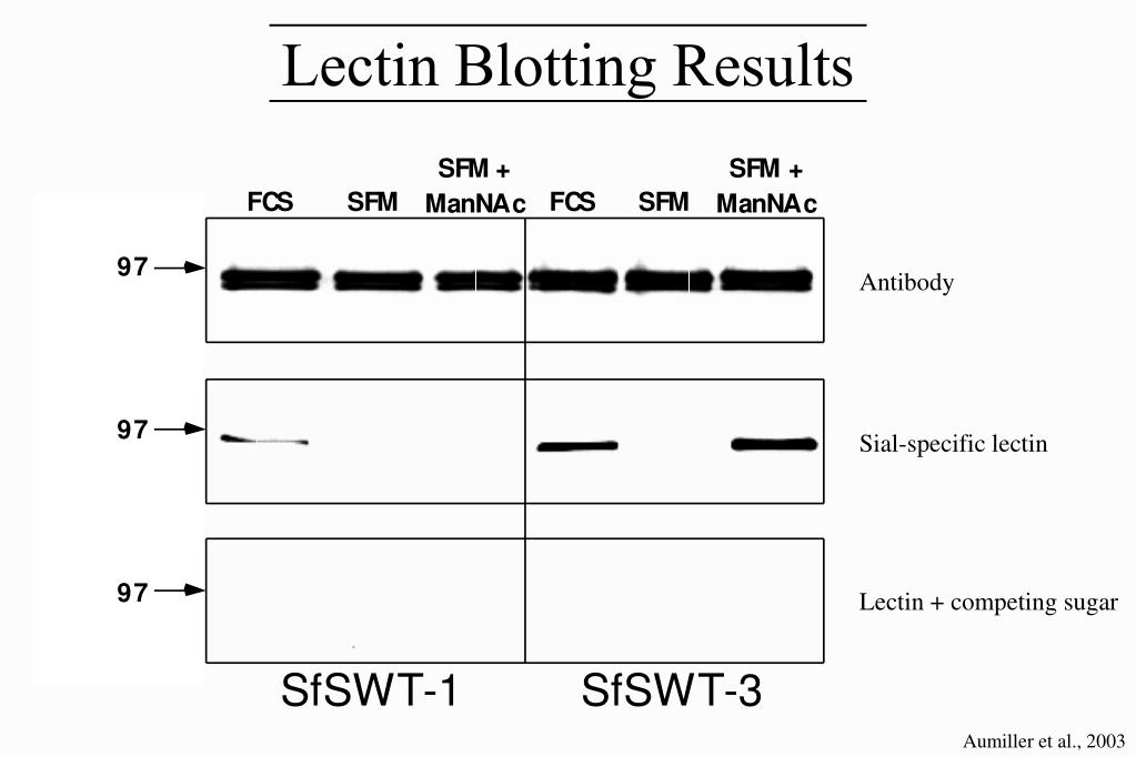 Lectin Blotting Results