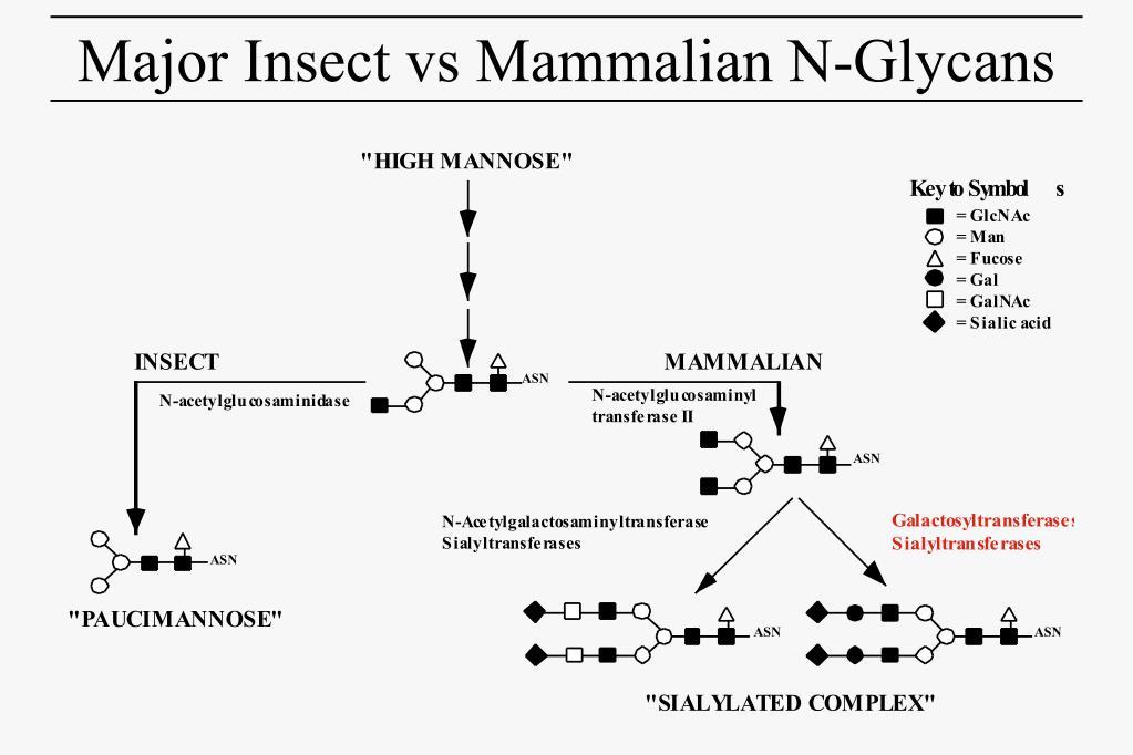 Major Insect vs Mammalian N-Glycans