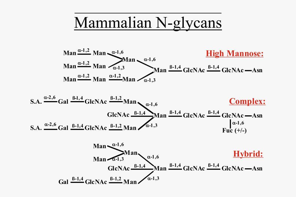 Mammalian N-glycans