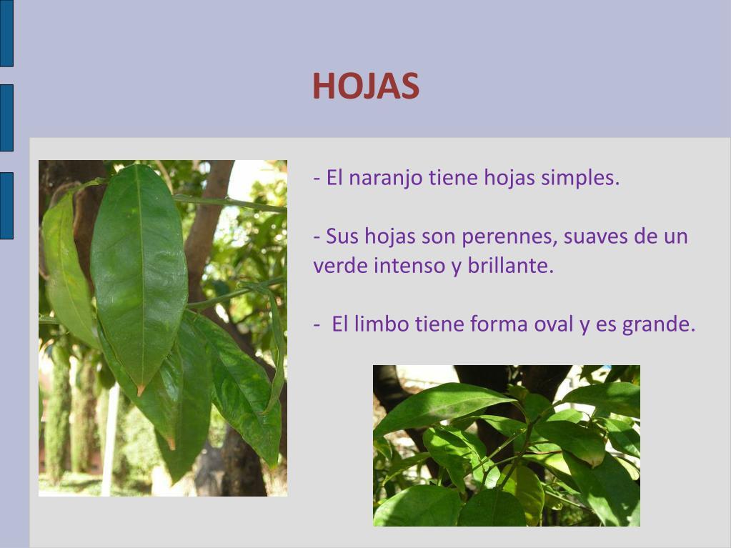- El naranjo tiene hojas simples.