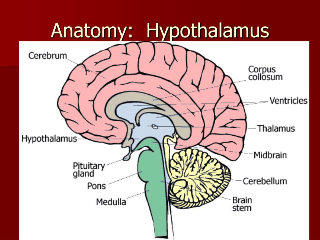 Anatomy:  Hypothalamus