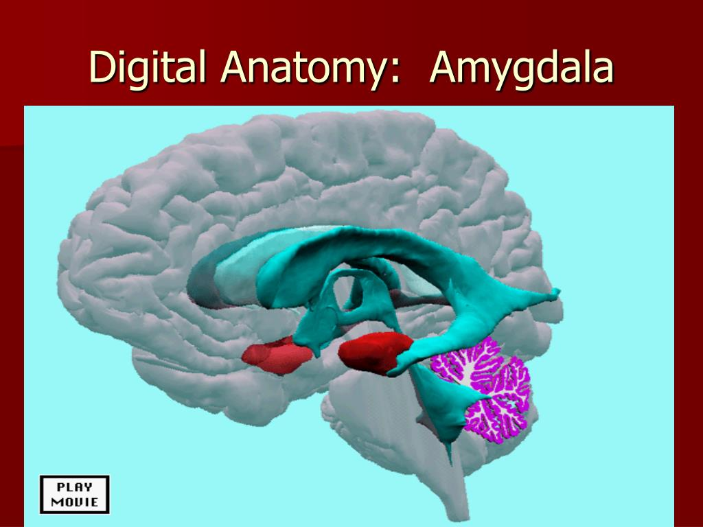 Digital Anatomy:  Amygdala