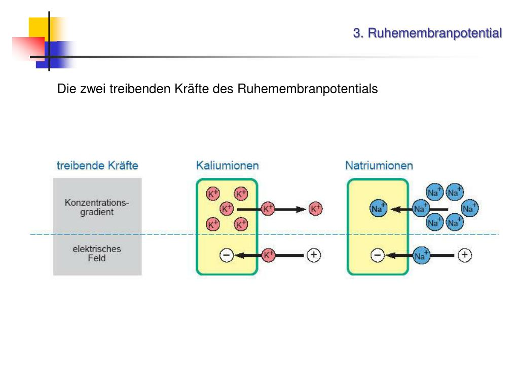 3. Ruhemembranpotential
