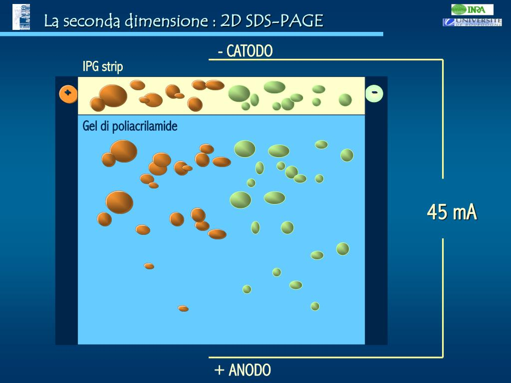 La seconda dimensione : 2D SDS-PAGE