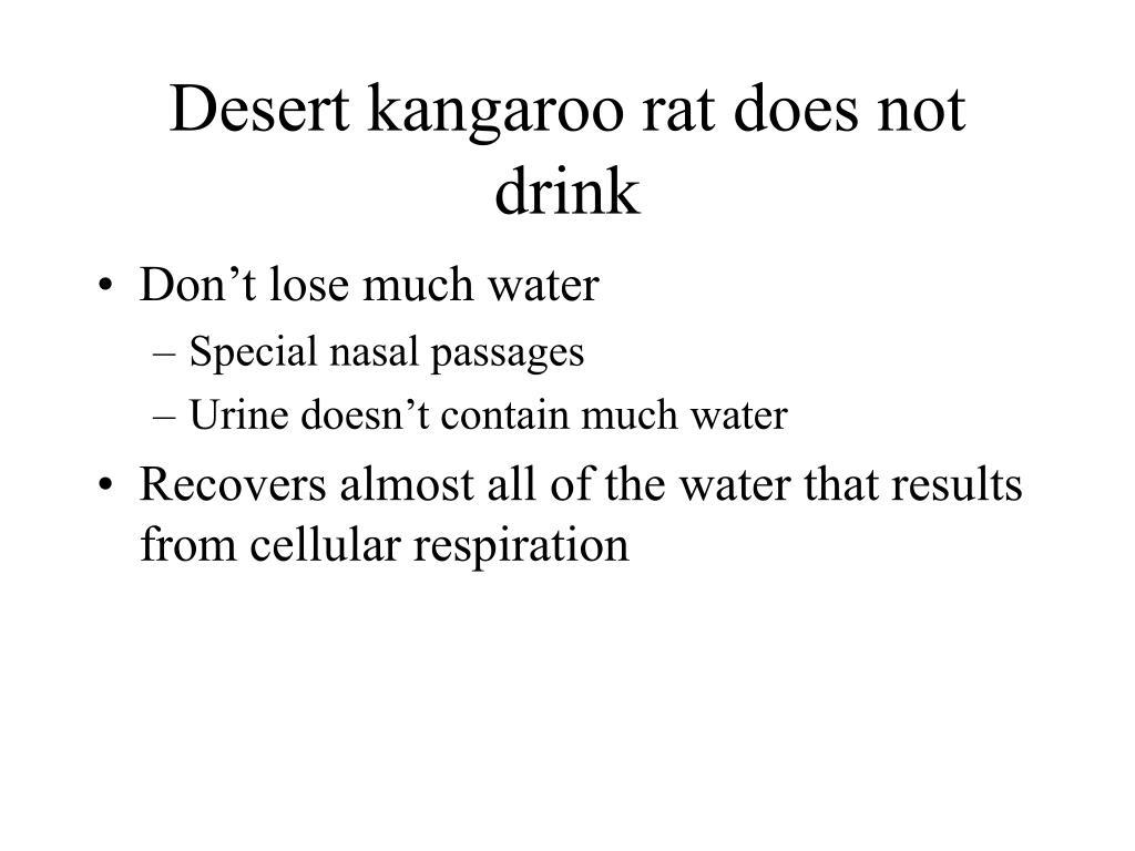 Desert kangaroo rat does not drink