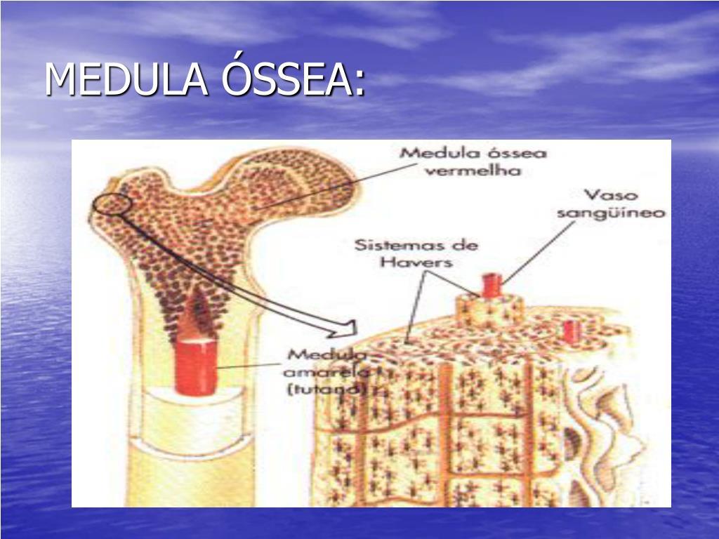 MEDULA ÓSSEA:
