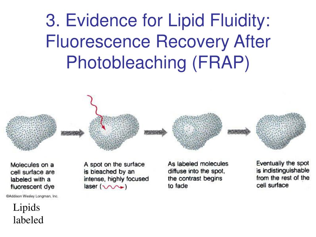 3. Evidence for Lipid Fluidity: