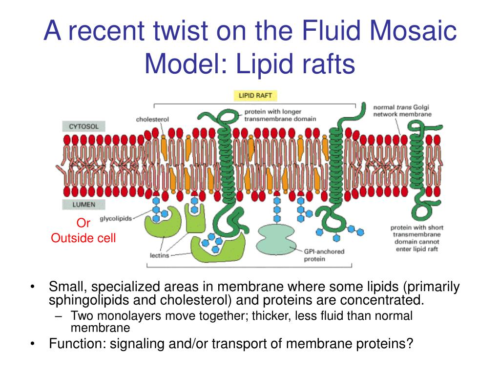 A recent twist on the Fluid Mosaic Model: Lipid rafts