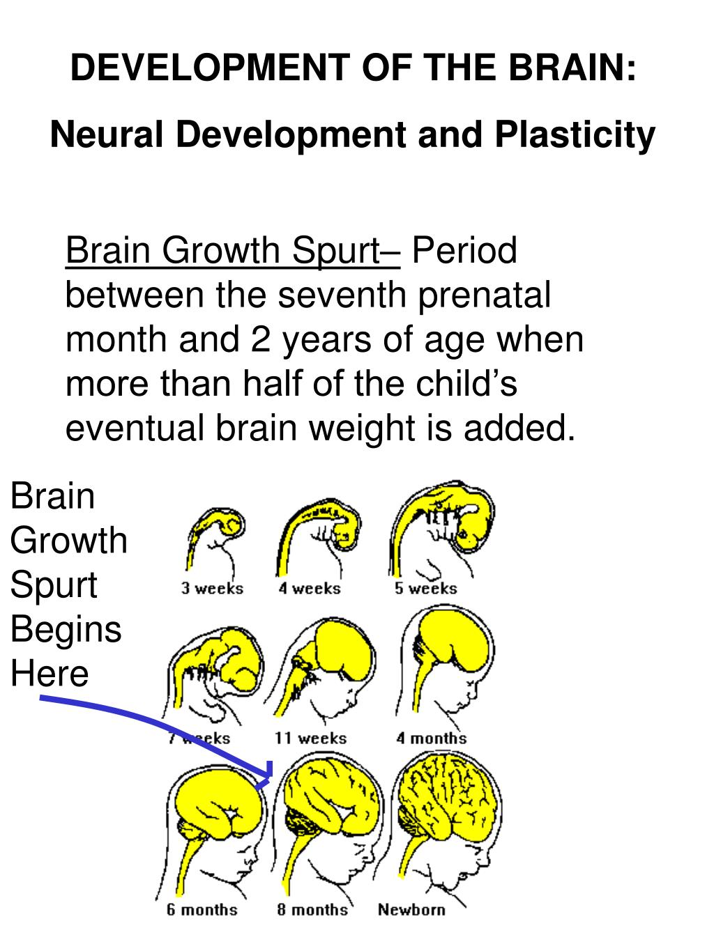 DEVELOPMENT OF THE BRAIN: