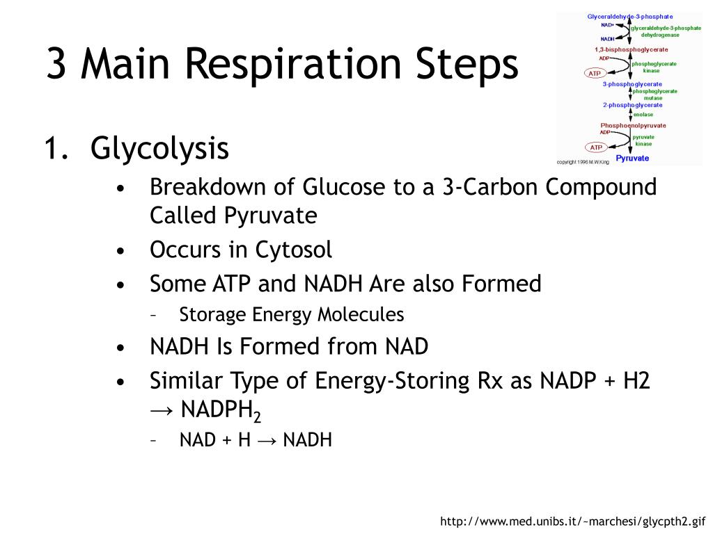 3 Main Respiration Steps