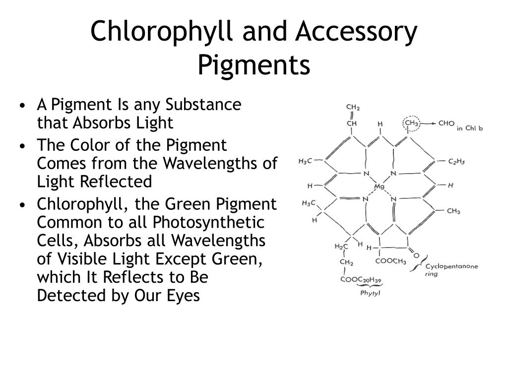 Chlorophyll and Accessory Pigments