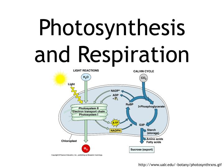 Photosynthesis and respiration l.jpg