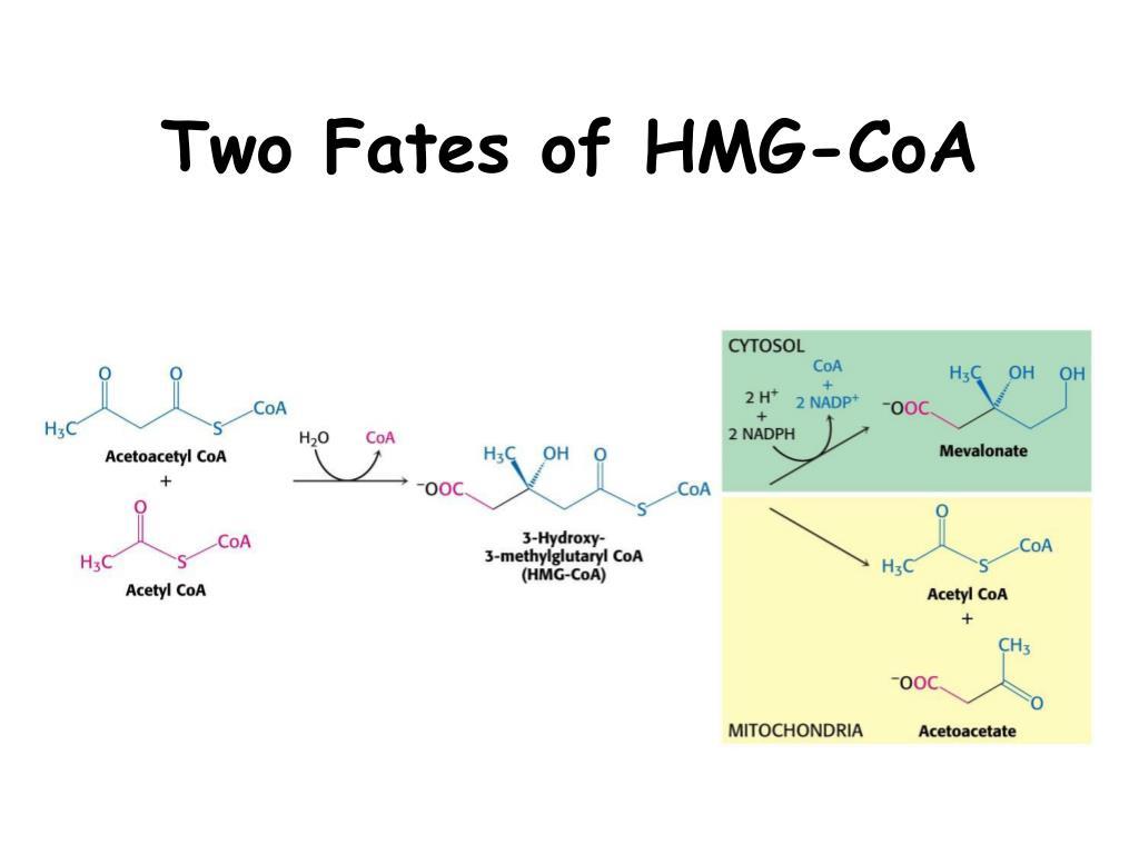 Two Fates of HMG-CoA