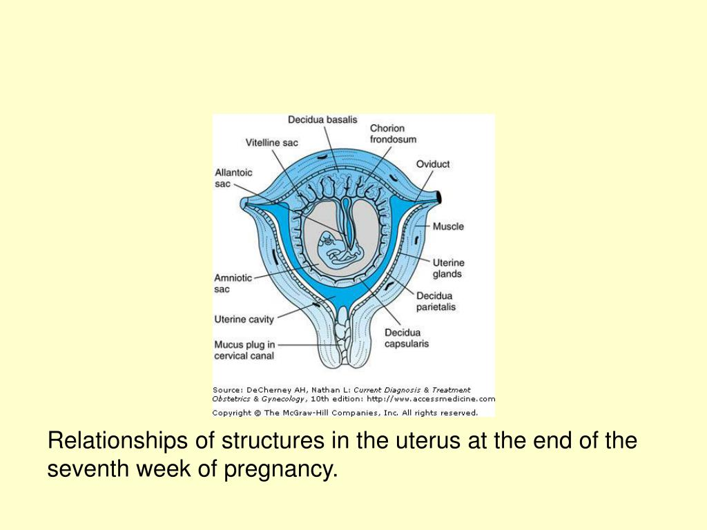 Relationships of structures in the uterus at the end of the seventh week of pregnancy.