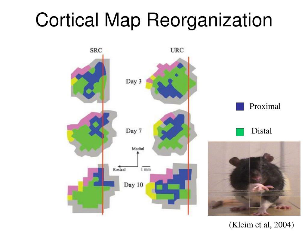 Cortical Map Reorganization