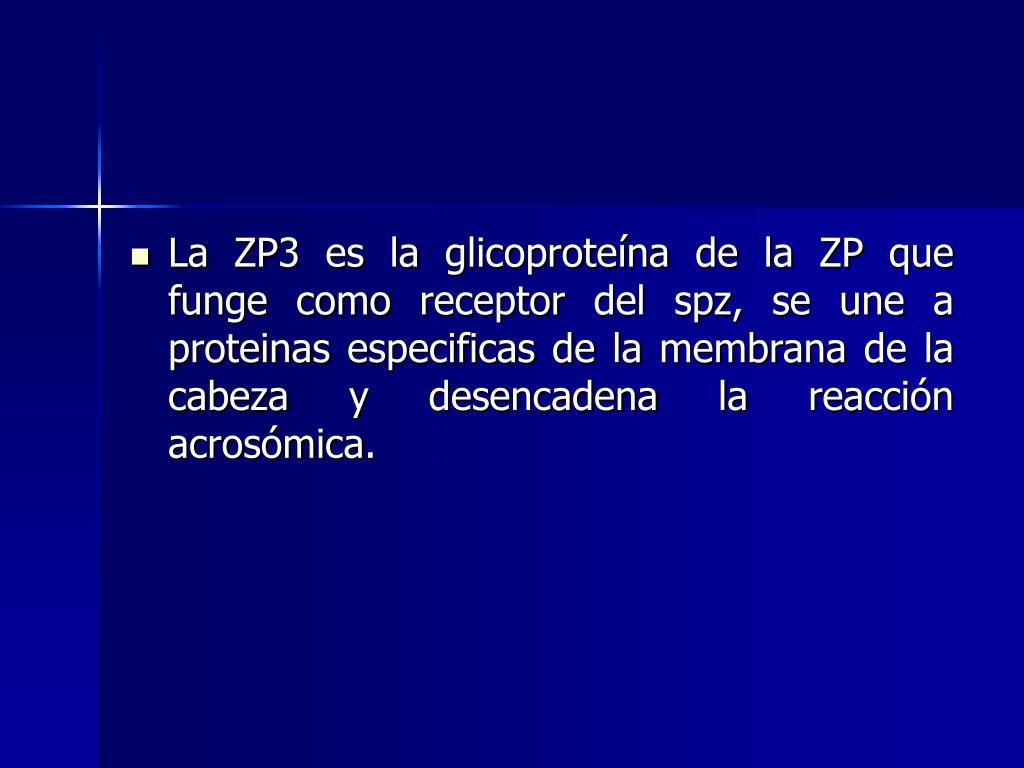 La ZP3 es la glicoproteína de la ZP que funge como receptor del spz, se une a proteinas especificas de la membrana de la cabeza y desencadena la reacción acrosómica.