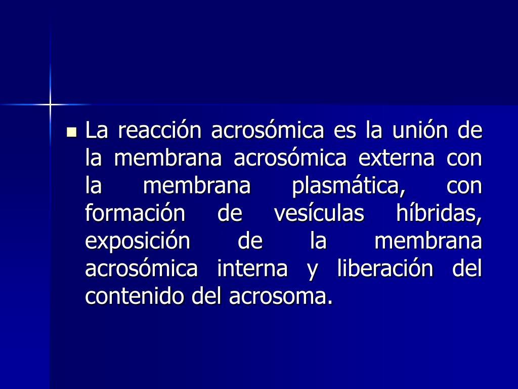 La reacción acrosómica es la unión de la membrana acrosómica externa con la membrana plasmática, con formación de vesículas híbridas, exposición de la membrana acrosómica interna y liberación del contenido del acrosoma