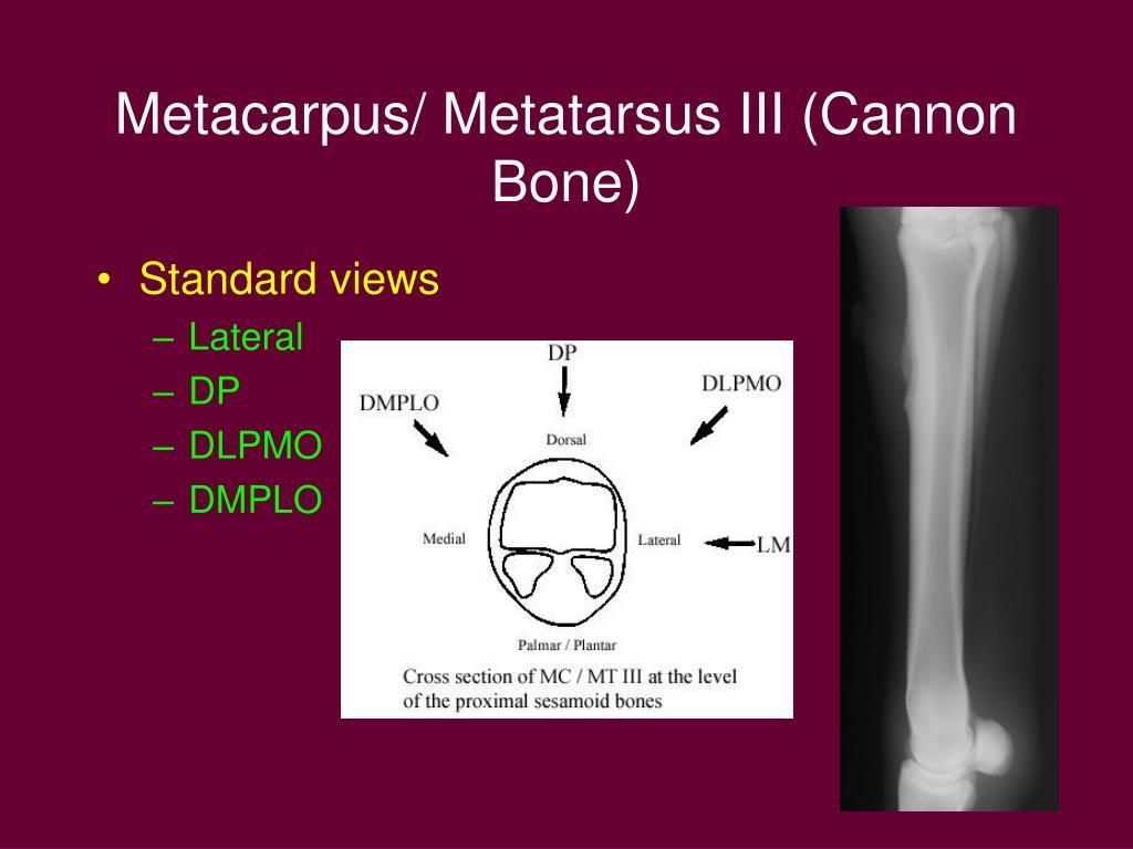 Metacarpus/ Metatarsus III (Cannon Bone)