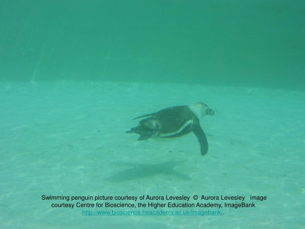 Swimming penguin picture courtesy of Aurora Levesley  ©  Aurora Levesley   image courtesy Centre for Bioscience, the Higher Education Academy, ImageBank