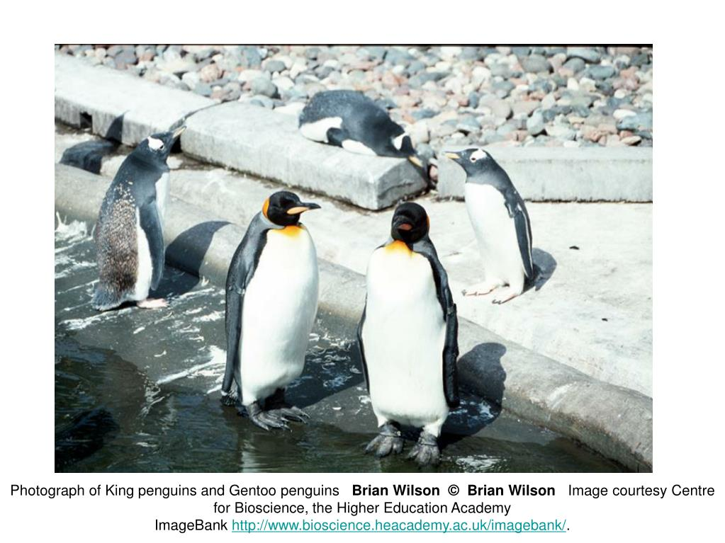 Photograph of King penguins and Gentoo penguins