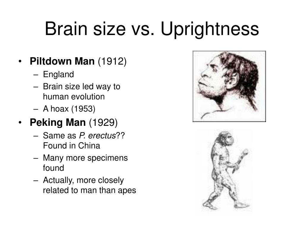 Brain size vs. Uprightness