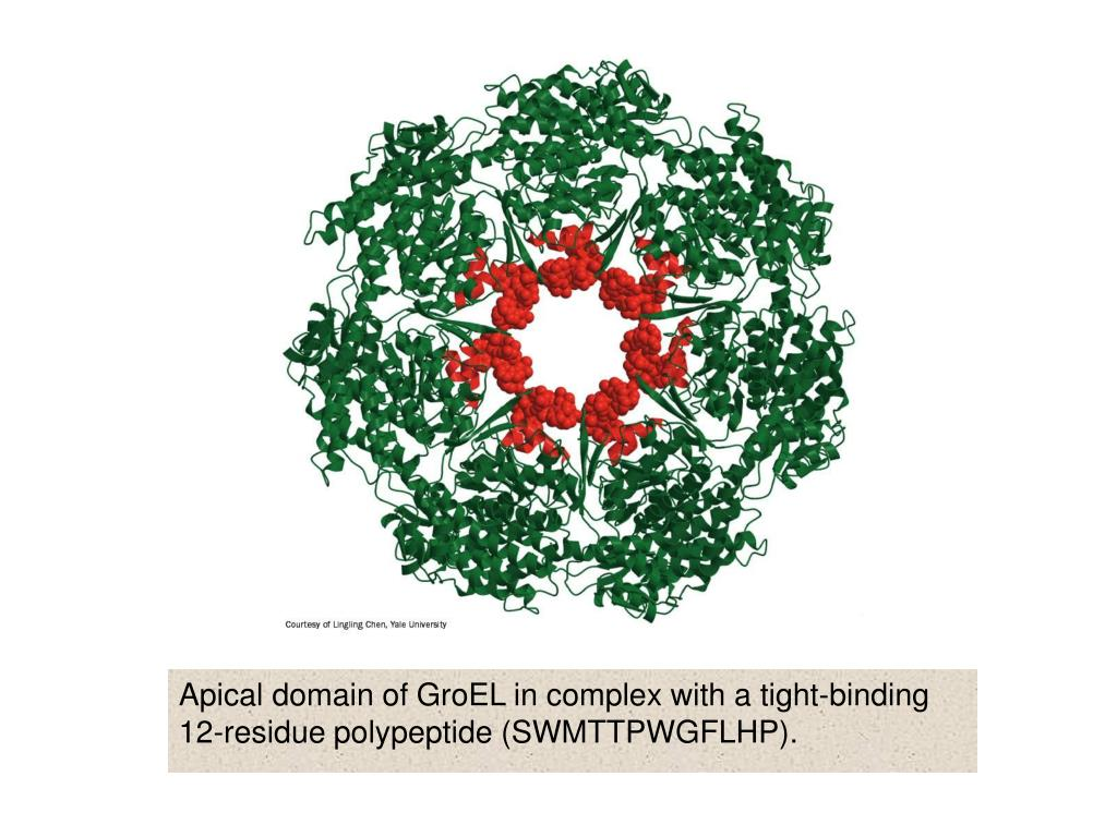 Apical domain of GroEL in complex with a tight-binding 12-residue polypeptide (SWMTTPWGFLHP).